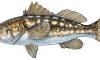 kelp_bass_fishid2