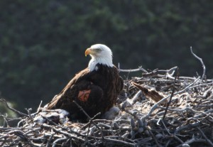 Photo showing adult Bald Eagle and chick in nest on Santa Cruz Island.