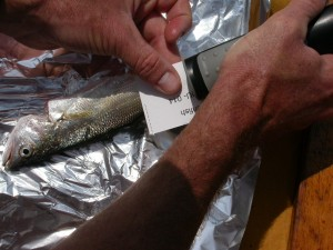 Photo shows scientist processing fish caught for contaminant study.