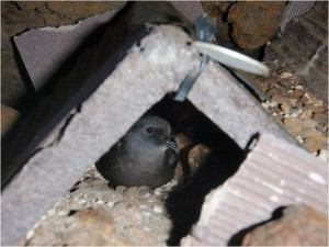 Photo showing an adult Ashy Storm-Petrel in an artificial nest habitat