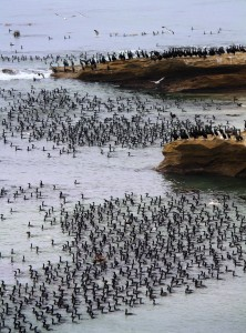 Colony Of Brandt S Cormorants On San Nicolas Island
