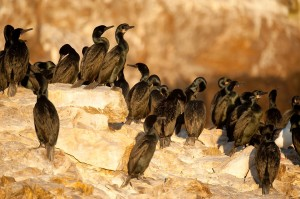 A Brandt's Cormorant colony on Baja Pacific Islands. (JA Soriano, Conservación de Islas)